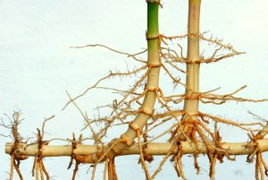 From: http://www.bamboobotanicals.ca/html/about-bamboo/bamboo-growth-habits.html